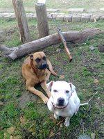 Alano Español dogs