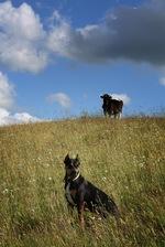 Алано в поле
