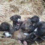 Alano Español puppies