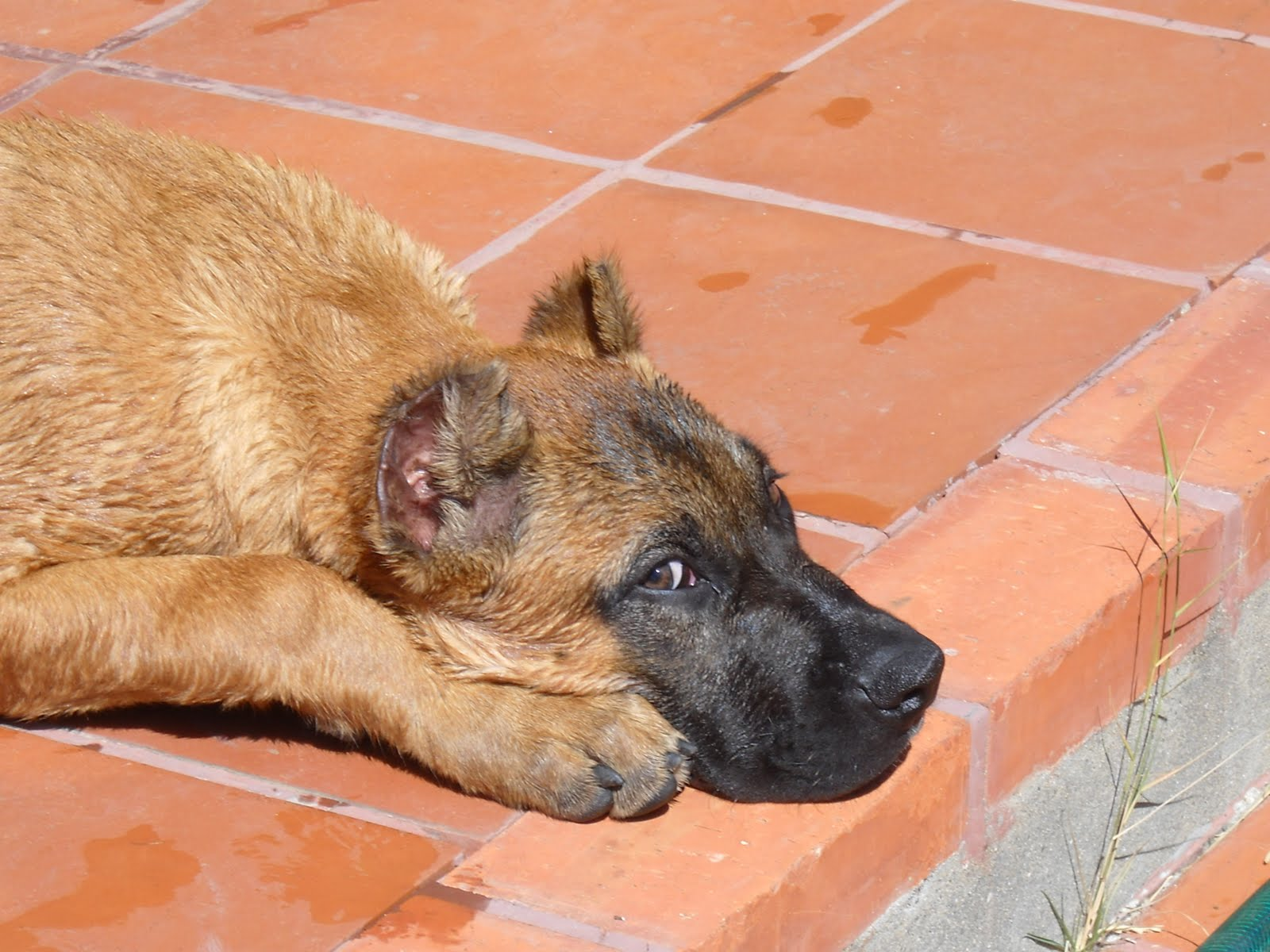 Alano Español resting on the floor photo and wallpaper. Beautiful ...