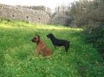 Собака Алано на фоне крепости