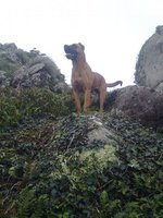 Alano Español Zorro dog in the mountains