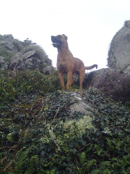 Alano Español Zorro dog in the mountains wallpaper