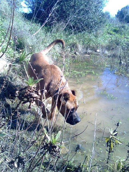 Собака Алано Зорро фото
