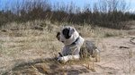 Alapaha Blue Blood Bulldog in the desert