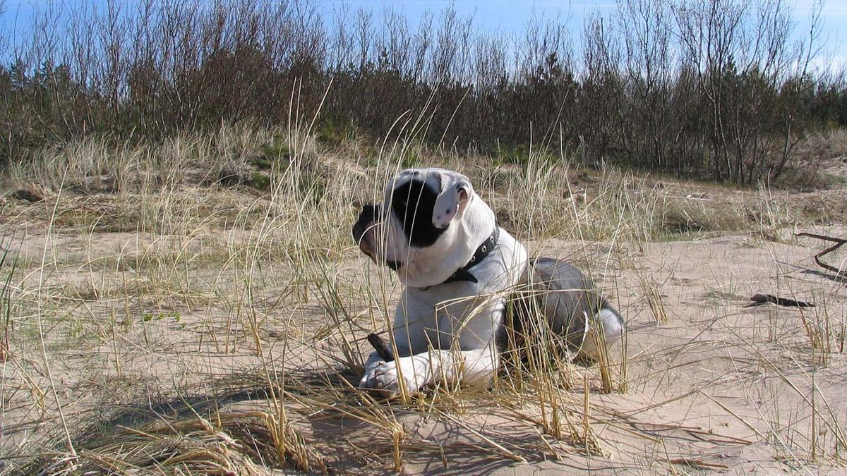Alapaha Blue Blood Bulldog in the desert wallpaper