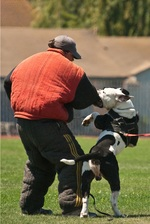 Alapaha Blue Blood Bulldog practicing