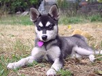 Alaskan Klee Kai and heart
