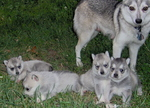 Alaskan Klee Kai and her puppies