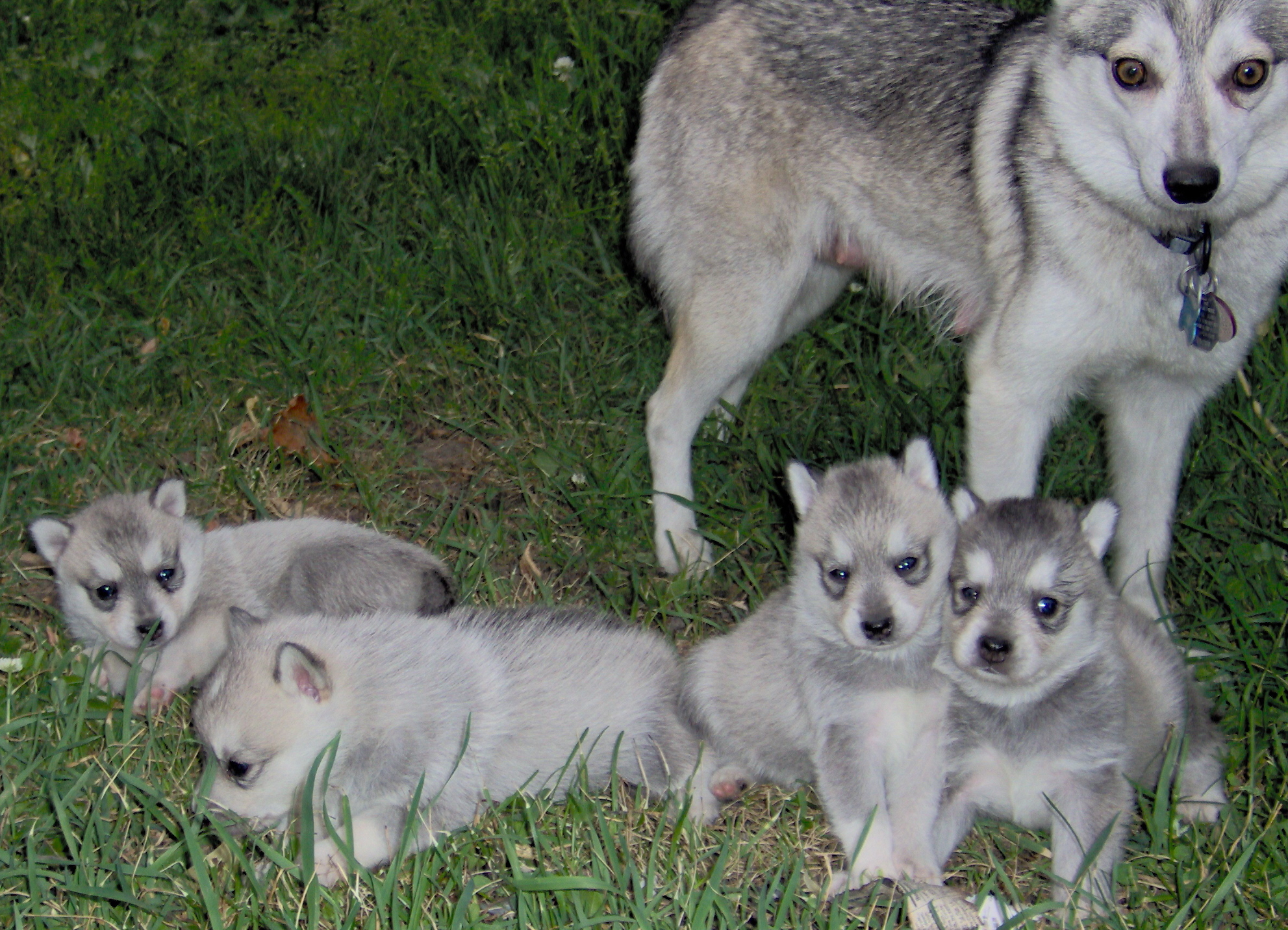 Alaskan Klee Kai and her puppies wallpaper