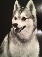 Alaskan Klee Kai black and white