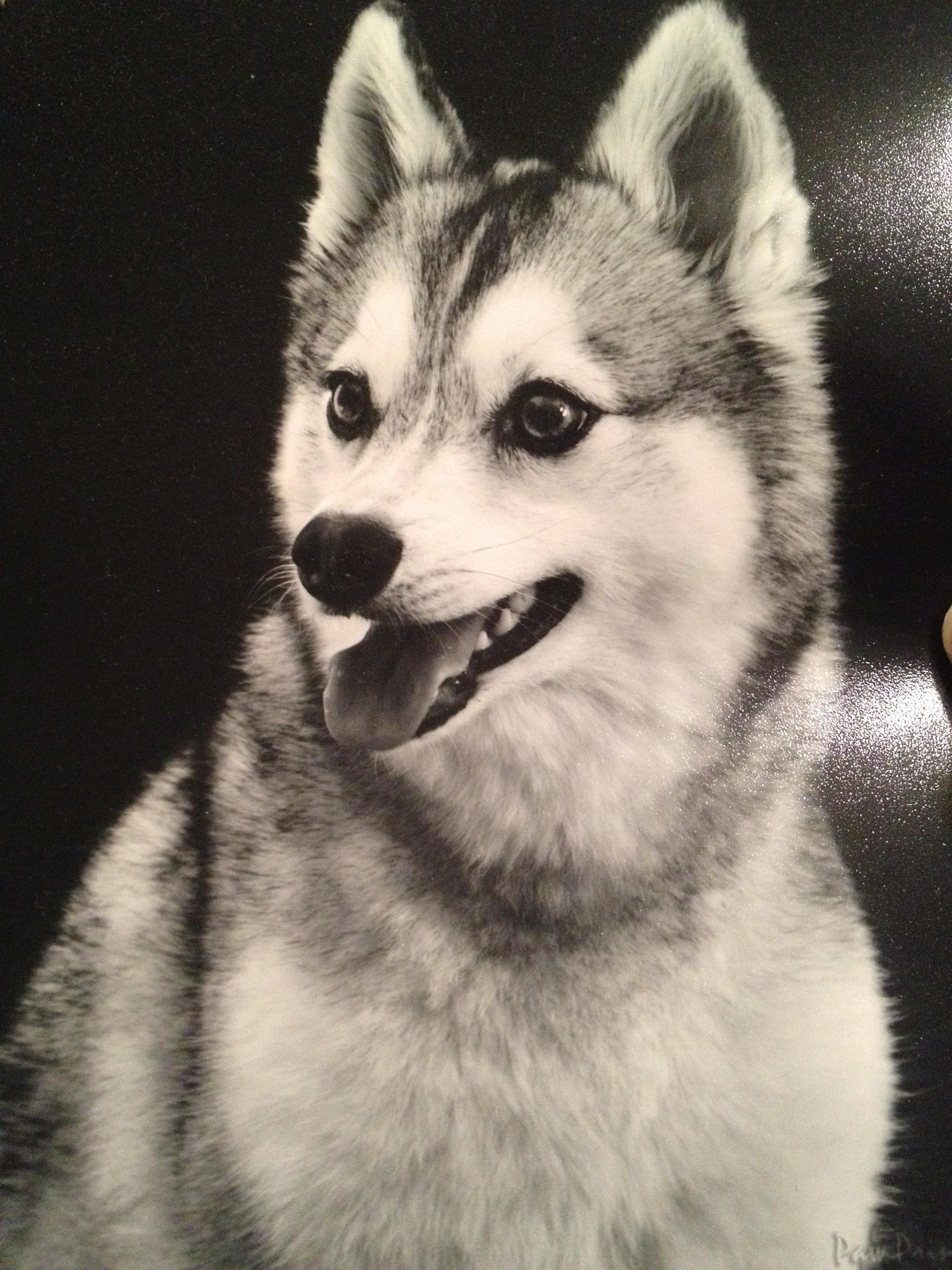 Аляскинский кли-кай черно-белое фото фото