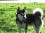 Alaskan Klee Kai dog Sammy