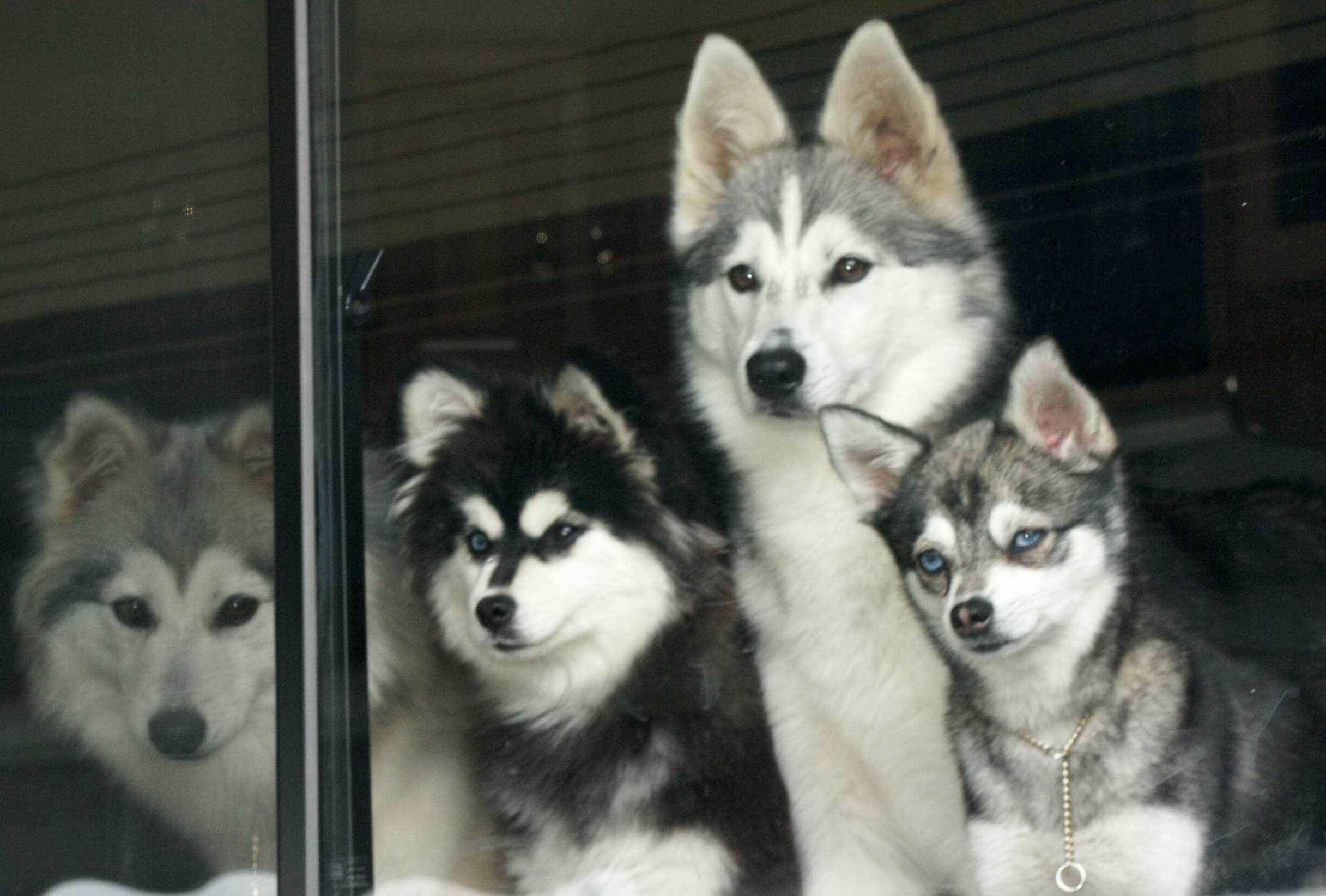 Alaskan Klee Kai family wallpaper