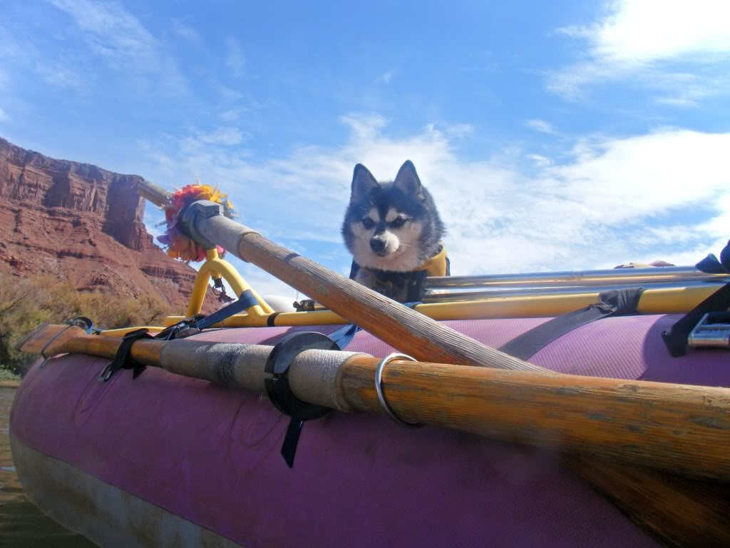Alaskan Klee Kai in the boat wallpaper