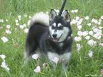 Alaskan Klee Kai in flowers