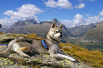 Alaskan Klee Kai in the mountains