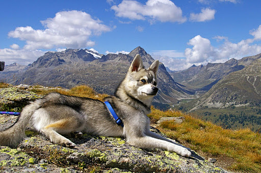Alaskan Klee Kai in the mountains wallpaper