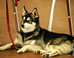 Alaskan Klee Kai on the dog show