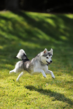 Alaskan Klee Kai playing on a meadow