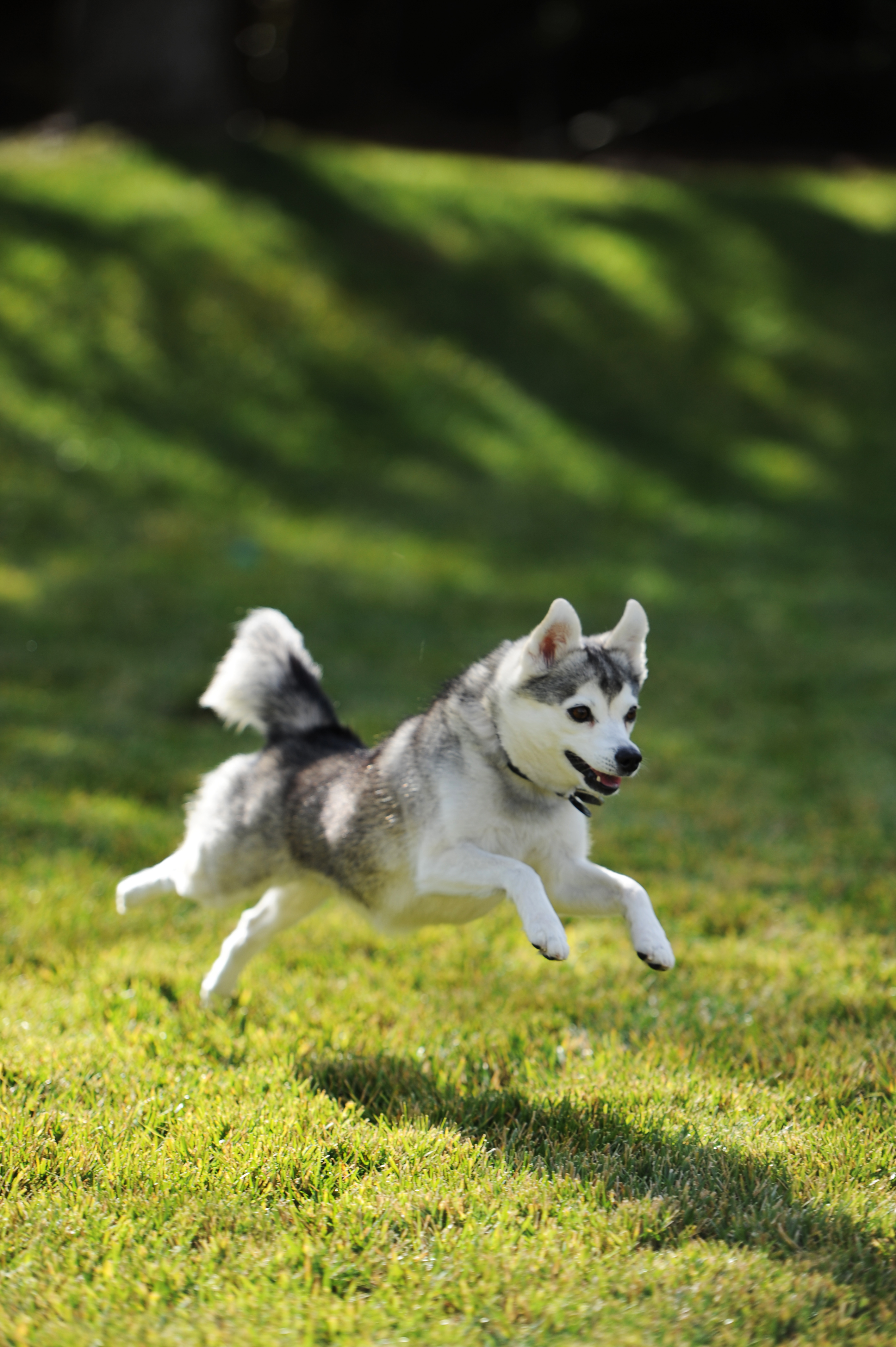 Alaskan Klee Kai playing on a meadow photo and wallpaper ...