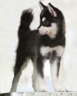 Alaskan Klee Kai puppy Ruby