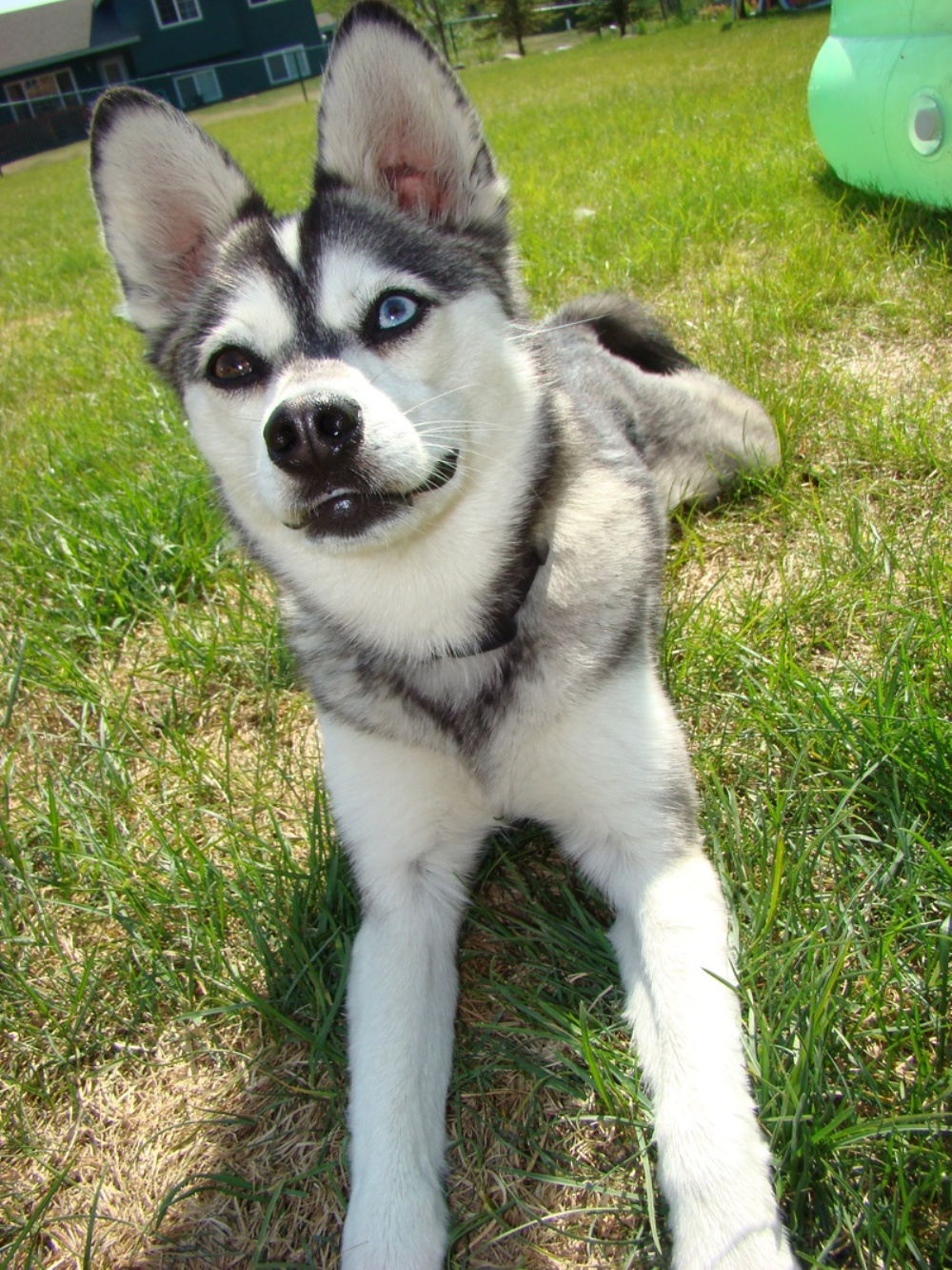 Alaskan Klee Kai Shadow wallpaper