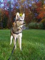 Alaskan Klee Kai walking with master