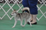 Alaskan Klee Kai walking with owner