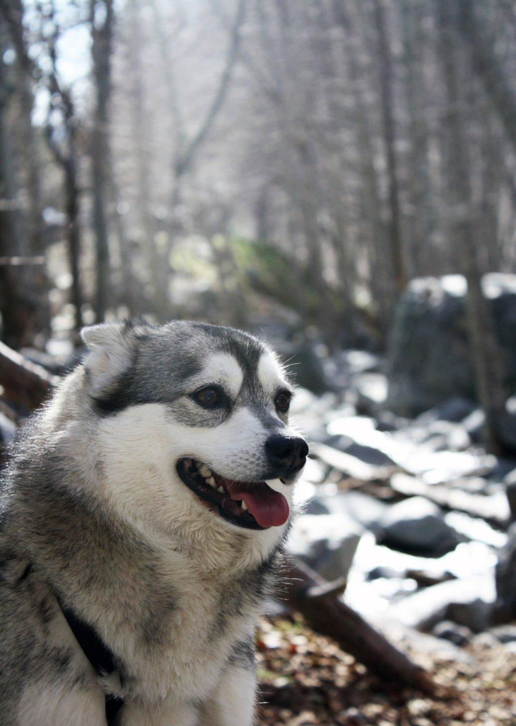 Alaskan Klee Kai winter in the forest wallpaper