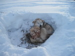 Alaskan Malamute and her puppies in the snow