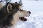 Alaskan Malamute Belle