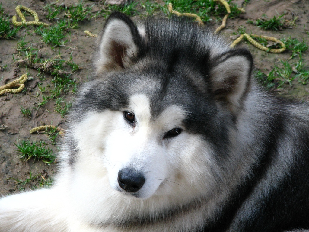 Add photos Alaskan Malamute Gizmo in your blog: