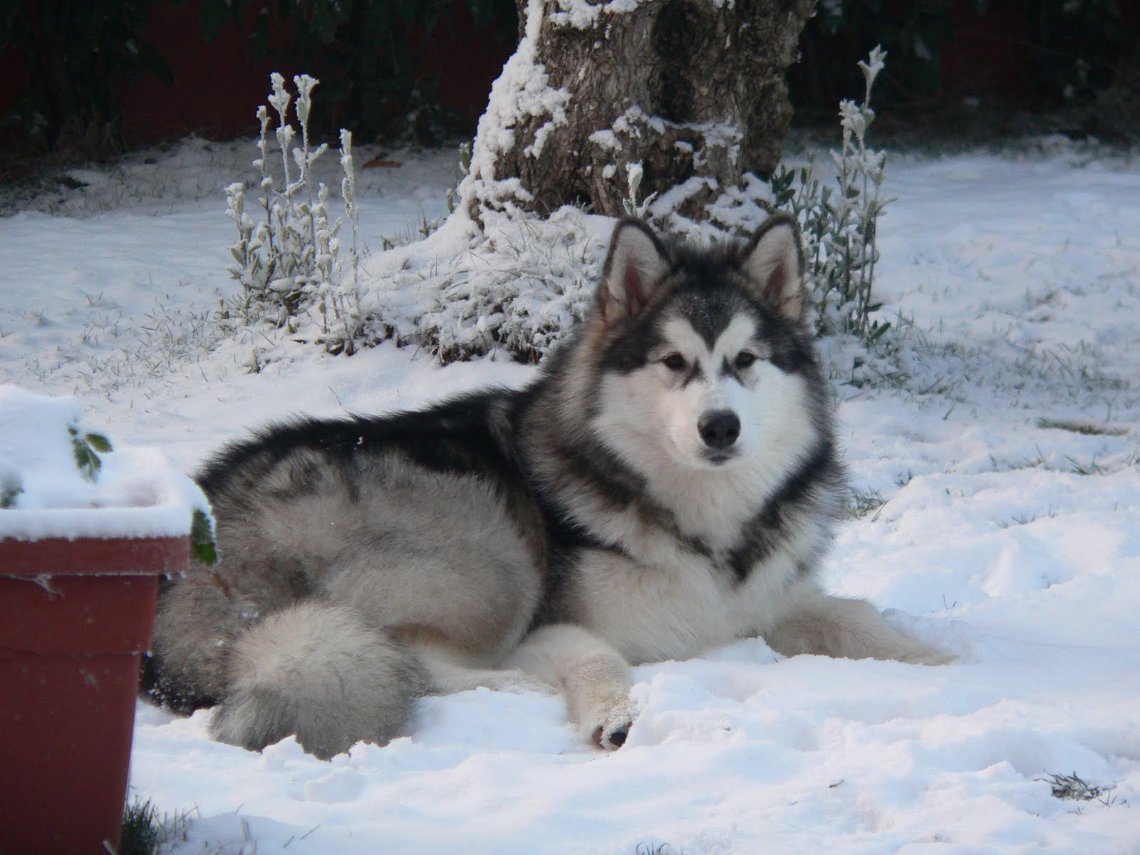 Alaskan Malamute in the winter forest wallpaper