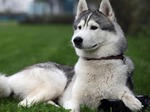 Alaskan Malamute lying on the grass