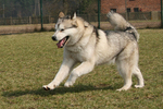 Alaskan Malamute playing