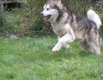 Nice Alaskan Malamute puppy Cooper