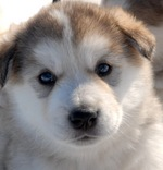 Alaskan Malamute puppy looking at yoy