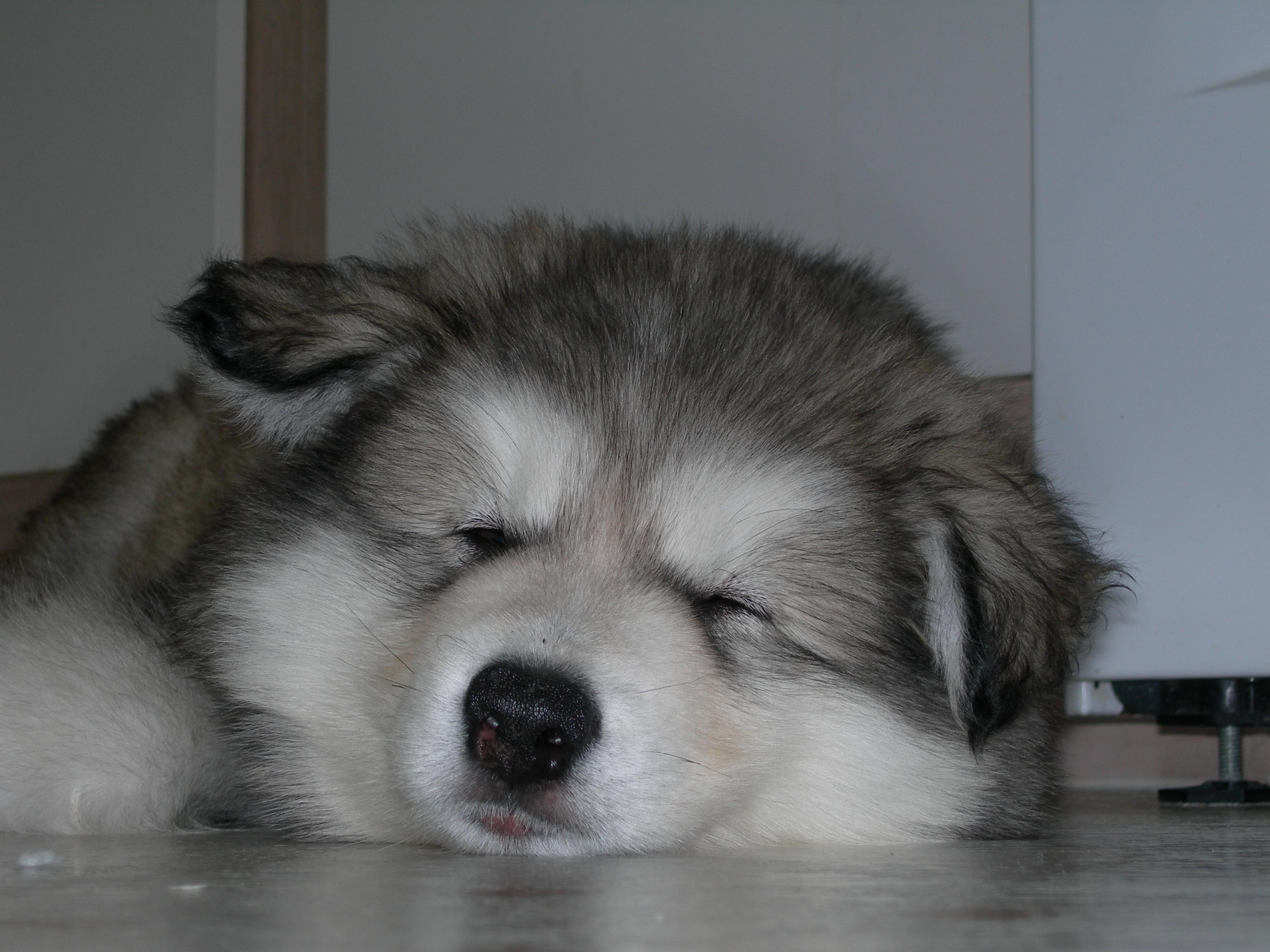 Аляскинский маламут спит фото