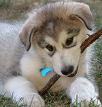Alaskan Malamute with a stick
