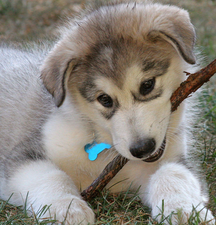 Alaskan Malamute with a stick wallpaper