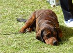 Alpine Dachsbracke lying on the grass