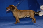 Alpine Dachsbracke on the dog show