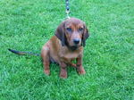 Alpine Dachsbracke puppy on the grass