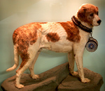 Alpine Spaniel dog and his medal