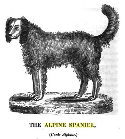 Alpine Spaniel wallpaper