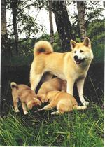 American Akita and puppies in the wood