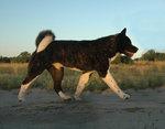 American Akita Cooper walking