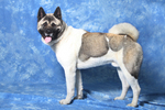 American Akita on a blue background