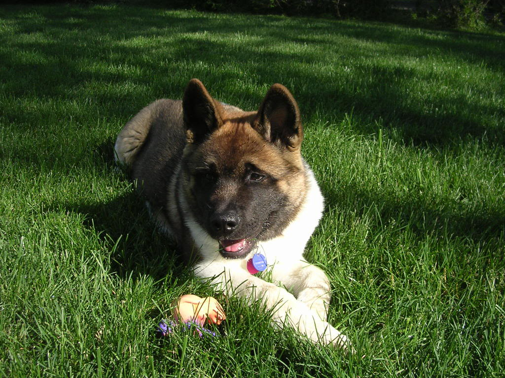 American Akita resting on the grass wallpaper